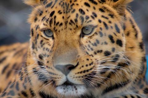 The Amur Leopard at the Central Florida Zoo.