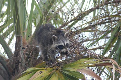 Contact to animals at risk for rabies including feral cats, stray dogs and all wildlife like  raccoons