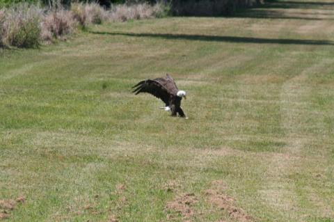 In addition to flooding complaints, residents of Celery Key said the Celery Oaks development is also putting a pair of protected Bald eagles at risk.