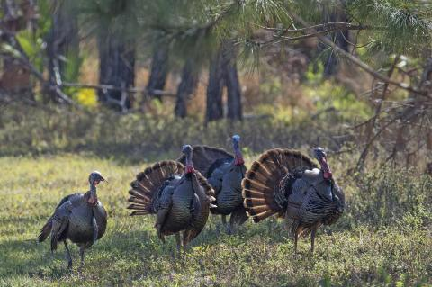 Osceola Wild Turkeys displaying their feathers during a hunt.